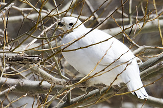 NY: Willow Ptarmigan 1