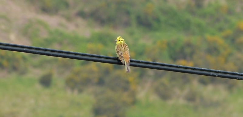 P1070667_2 - Yellowhammer, Gopa Hill