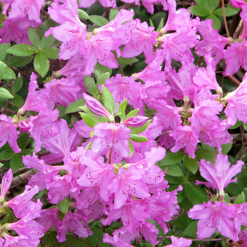 Purply pink azaleas