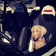 How do I drive this? #camping #weim #weimaraner #puppy #dogsofinstagram #rzr