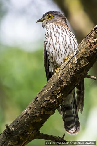 nikon singapore tamron cuckoo migratorybird hodgsonshawkcuckoo singaporebird hierococcyxnisicolor nikond7100 tamron150600mm hodgsonshawkcuckoohierococcyxnisicolor