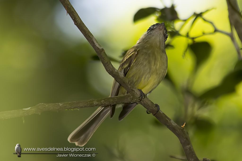 Picochato grande (Yellow-olive Flycatcher ) Tolmomyias sulphurescens