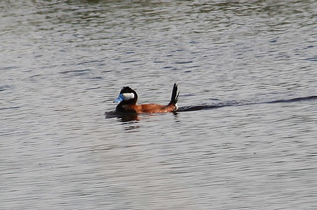 Ruddy Duck, Oxyura jamaicensis, Bowdoin National Wildlife Refuge, Malta Montana, Photo by Wes