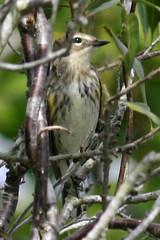 yellow rump warbler IMG_1730b