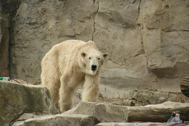 Eisbär Lili im Zoo am Meer Bremerhaven 14.05.2016 Teil 1 099