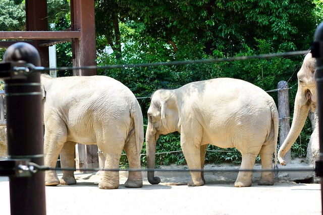 中望遠レンズで撮影した上野動物園のゾウ