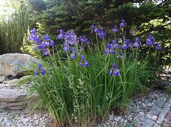 Irises 2016/17.
