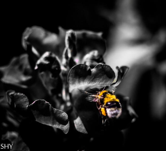 bumblebee on an approach