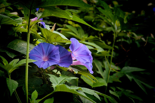 flowers blue green nature leaves canon dark eos cool vines soft purple outdoor foliage morningglory vignette ef2470mmf28lusm topaz