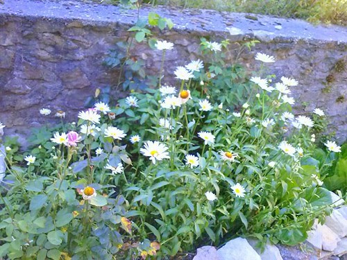 #fiori #margheritegiganti #piantinedimatgherite