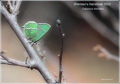 Sheridan's Hairstreak Colorado butterfly photography by Ron Birrell; DSC_0022