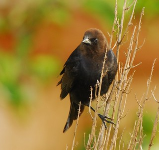 #_1690 - Brown-Headed Cowbird