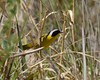Common Yellowthroat Warbler - Geothlypis trichas
