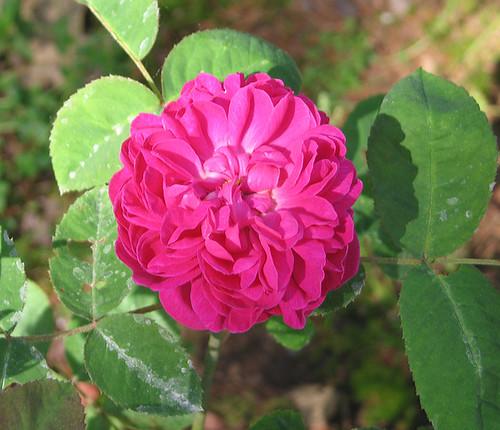 Rose de Rescht. by Leenechan
