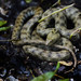 Tessellated Water Snake - Photo (c) Alexandre Roux, some rights reserved (CC BY-NC-SA)
