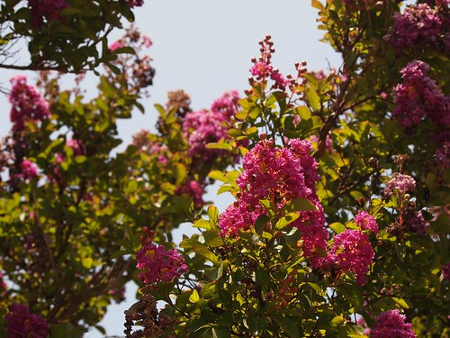 In the neighborhood…Crape Myrtle - 08
