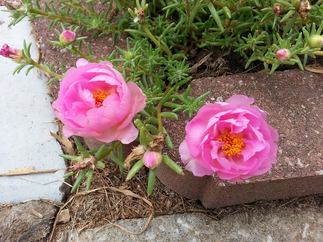 mid-July moss rose bloom s