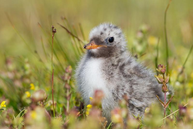 Kría - Arctic Tern - Sterna paradisaea
