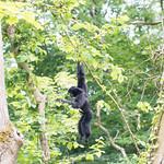Swing Gibbon