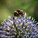 Another Bumble bee on Globe thistle