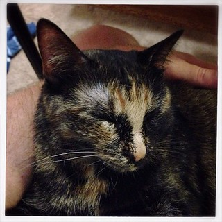 Peaches is sleepy. #tortie #cat #kitty #feline #sleep #lap #cute #siouxfalls #southdakota