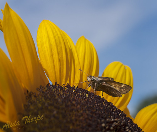 moth on sunflower by Alida's Photos