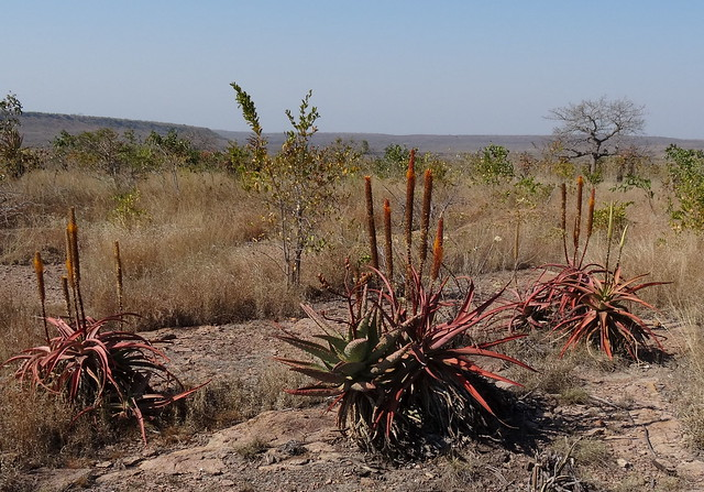 Aloe spicata - close to Boane