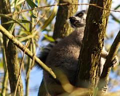 animal, branch, tree, primate, nature, marsupial, fauna, wildlife,