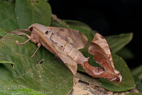 Mating hawk moths Daphnusa ocellaris IMG_3038 copy