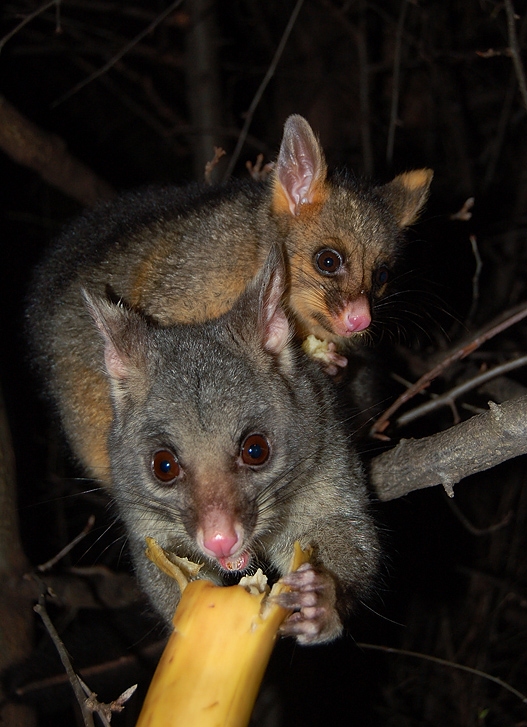 possums_mother_and_child-17