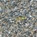 Small photo of Bembix olivacea. Crabronidae