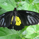 Butterfly - black