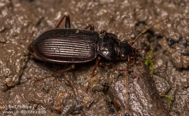 ground beetle-3
