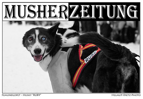 Femundlopet-Alaskan-Husky-Ruby-Musherzeitung