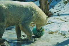 brown bear(0.0), animal(1.0), polar bear(1.0), mammal(1.0), grizzly bear(1.0), fauna(1.0), bear(1.0), wildlife(1.0),