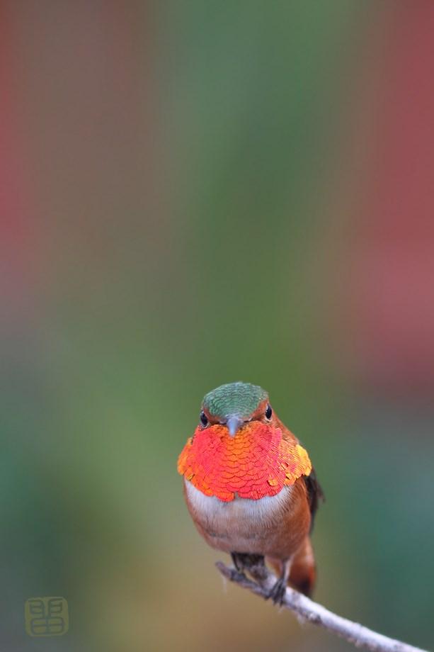 Allen's Hummingbird 031414