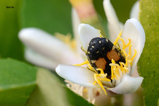 Flower Beetle 20140324 DSC_5616