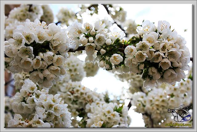 1 Valle de Caderechas Floración de los cerezos