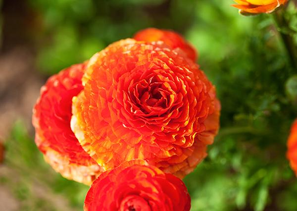 ranunculus, flowers of Israel, orange, קטיף נוריות קדמה, נורית, כתום