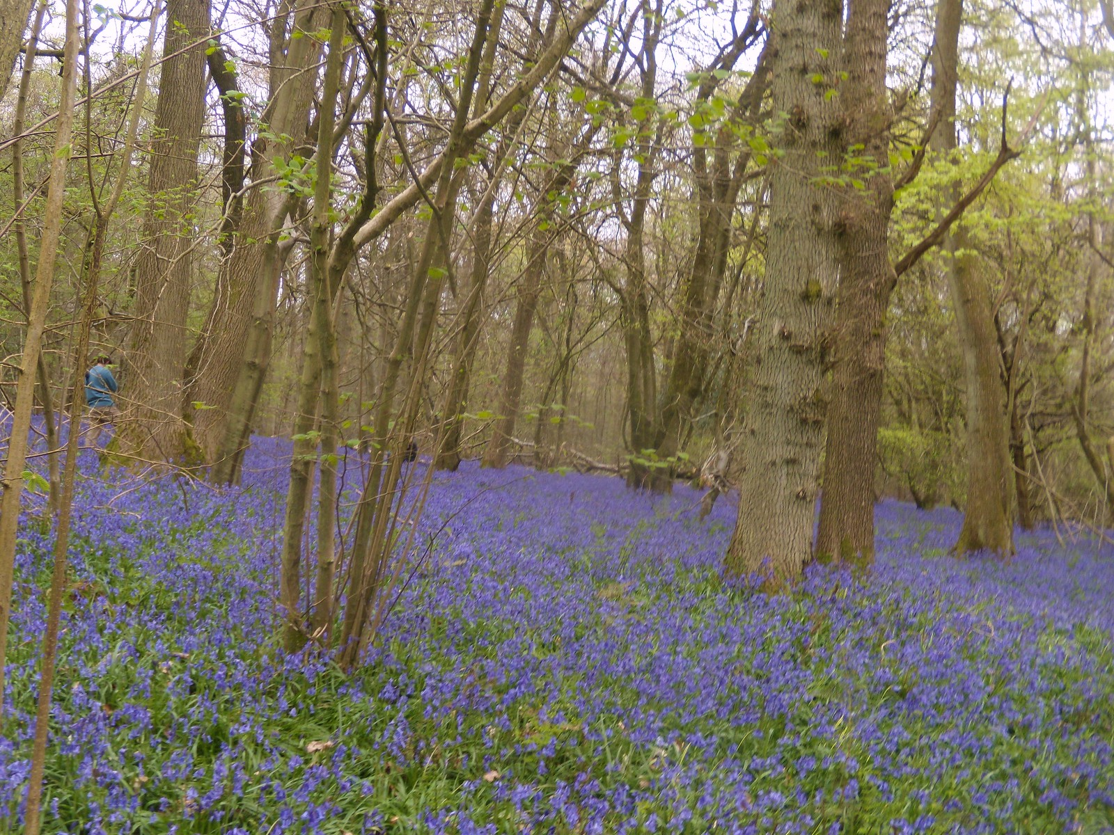 Old Simms Copse - Bluebells 5 Gomshall to Westhumble