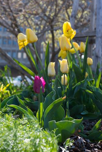 tulips - Bartholdi Fountain Garden - US Botanic Garden - 2014-04-16