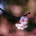 2015 01 25 新北市.烏來.花園新城.寒櫻(藍天-70%)
