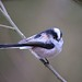 Tarquin the Long Tailed Tit by Bogger3. Off Line