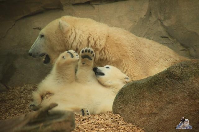 Eisbär Lili im Zoo am Meer Bremerhaven 14.05.2016 Teil 2 0156