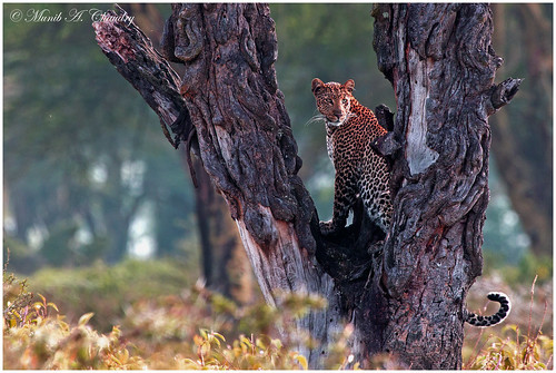 feline kenya ngc npc leopard wildanimal wildcats greatriftvalley lakenakurunationalpark wildafrica femaleleopard leopardintree fabuleuse spottedfeline macswildpixels theprettiestfeline