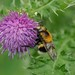 Hoverfly ----Volucella bombylans by creaturesnapper