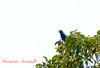 Lined Forest Falcon (Micrastur gilvicollis) Falcão Mateiro