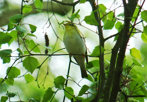 Wood Warbler at The Lodge