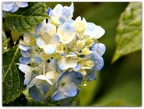 """Hydrangea Day is celebrated on the 5th of January every year."""
