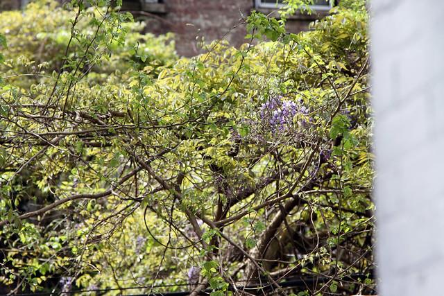 wisteria6298